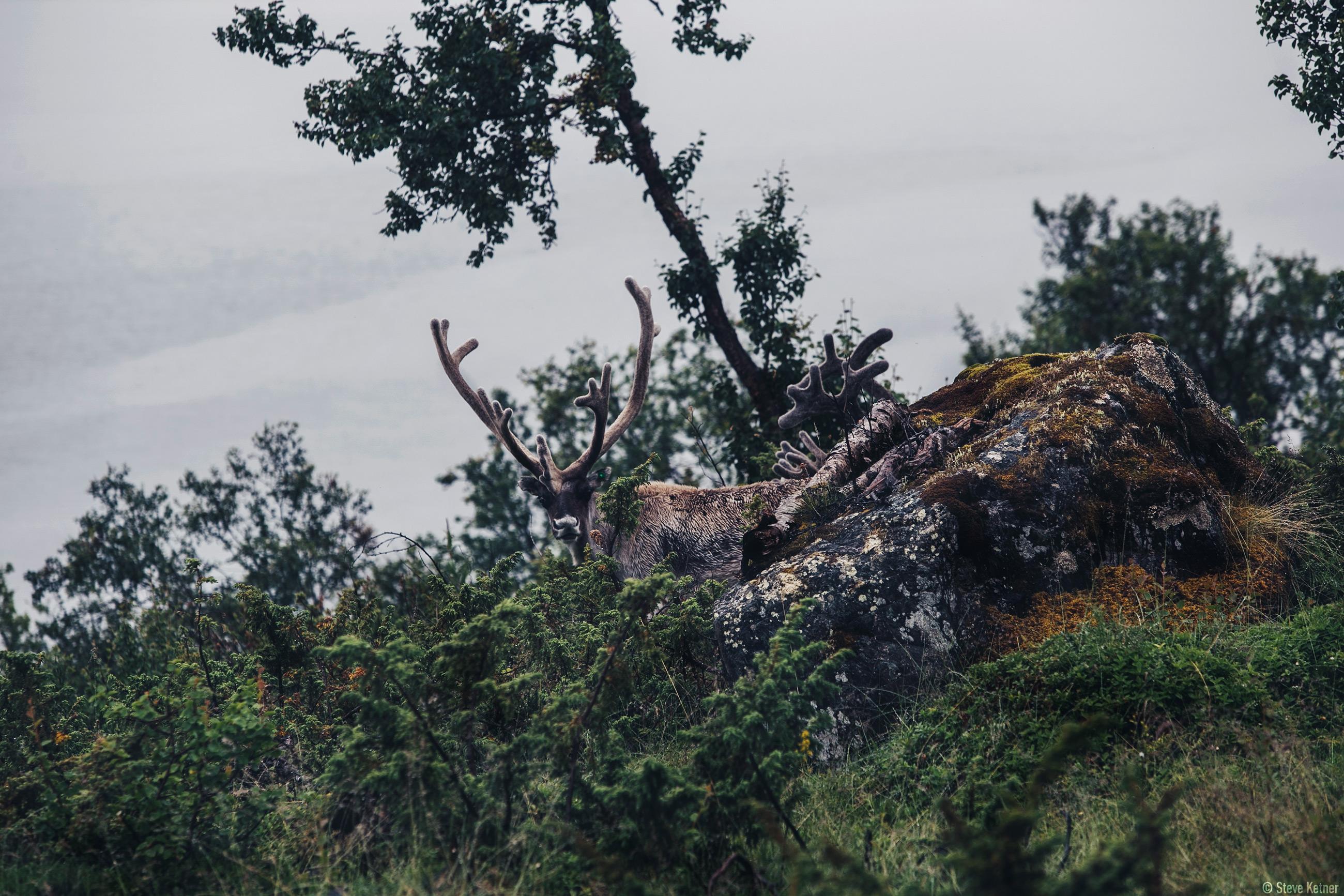 Steve Ketner - Norway's reindeers know how to camouflage